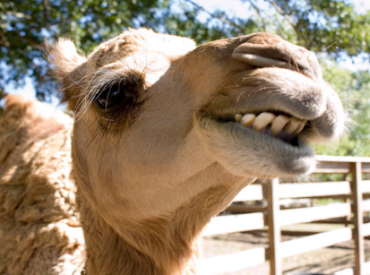 Would You Apologize To A Camel? Lyn-Dee